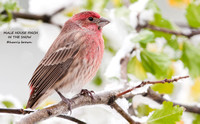 MALE HOUSE FINCH  670-015