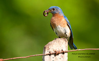MALE EASTERN BLUEBIRD 575-135