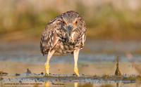 JUVENILE BLACK-CROWNED NIGHT HERON  619-081