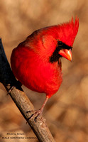 MALE NORTHERN CARDINAL  721-044