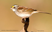 WHITE-THROATED SPARROW 506-031