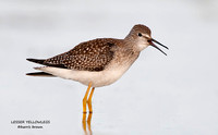 LESSER YELLOWLEGS  608-203