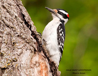 MALE HAIRY WOODPECKER 809-141