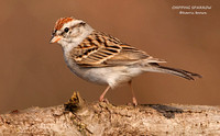 CHIPPING SPARROW 771-184