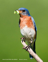 MALE EASTERN BLUEBIRD 861-066