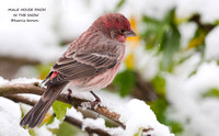 MALE HOUSE FINCH  670-209