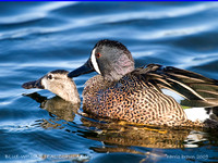 BLUE WINGED TEAL COPULATING   351-124