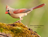 FEMALE NORTHERN CARDINAL 809-004