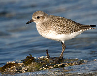 BLACK-BELLIED PLOVER IN WINTER PLUMAGE 376-128