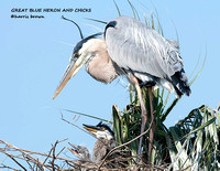 GREAT BLUE HERON AND CHICKS 1069-004