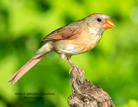 FEMALE NORTHERN CARDINAL 1216-045