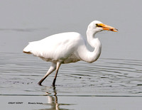 GREAT EGRET 875-048