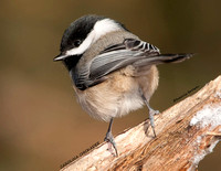 CAROLINA CHICKADEE 1129-009