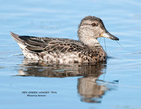 HEN BLUE-WINGED TEAL 1111-101