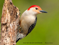 MALE RED-BELLIED WOODPECKER 811-023