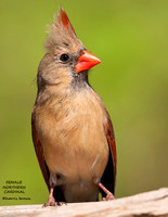 FEMALE NORTHERN CARDINAL 800-096
