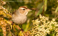 JUVENILE WHITE-CROWNED SPARROW 486A-187