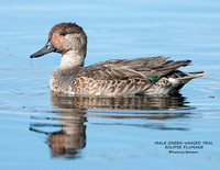 MALE GREEN-WINGED TEAL 1111-117