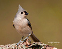 TUFTED TITMOUSE  779-169