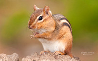 EASTERN CHIPMUNK  663-024