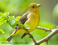 FEMALE SCARLET TANAGER 1077-070
