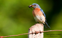 MALE EASTERN BLUEBIRD 575-087