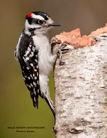 MALE DOWNY WOODPECKER 795-093