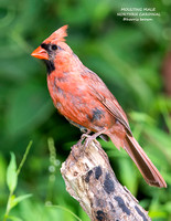 MOULTING MALE NORTHERN CARDINAL  1219-002