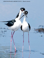 COURTING BLACK NECKED STILTS 998-105