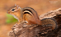 EASTERN CHIPMUNK  662-195