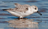 SANDERLING IN THE SURF 665-185