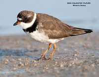 SEMI-PALMATED PLOVER 1070-027