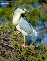 BLACK CROWNED NIGHT HERON 1198-008