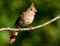 FEMALE NORTHERN CARDINAL 1090-019