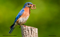 MALE EASTERN BLUEBIRD 579-137