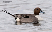 MALE NORTHERN PINTAIL 748-175
