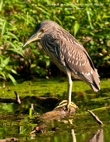 JUVENILE BLACK-CROWNED NIGHT HERON 892-052