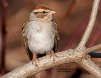 CHIPPING SPARROW 1126-016