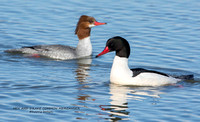HEN AND DRAKE COMMON MERGANSER  1188-038