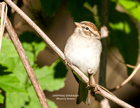 CHIPPING SPARROW 1108-107