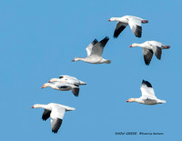 SNOW GEESE HB2_2922