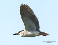 BLACK-CROWNED NIGHT HERON  1206-026