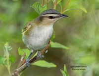 RED-EYED VIREO 1155-013