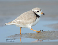 PIPING PLOVER 1149-037