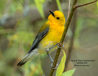 MALE PROTHONOTARY WARBLER 1155-030