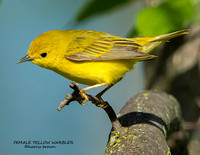 FEMALE YELLOW WARBLER 1155-040