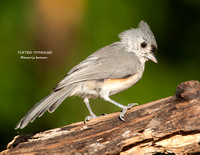 TUFTED TITMOUSE 1108-094
