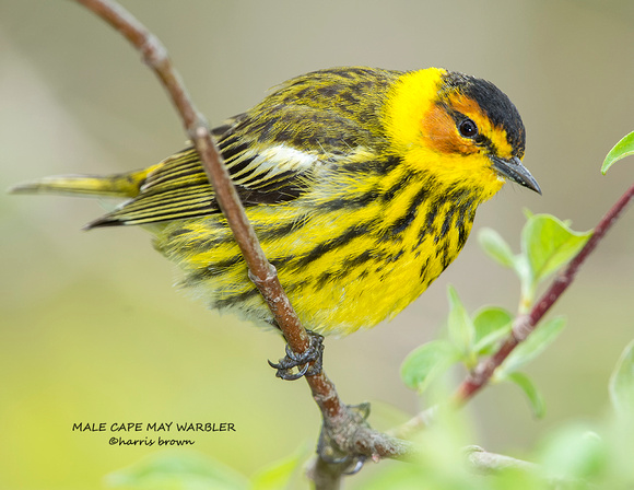 MALE CAPE MAY WARBLER 1203-024